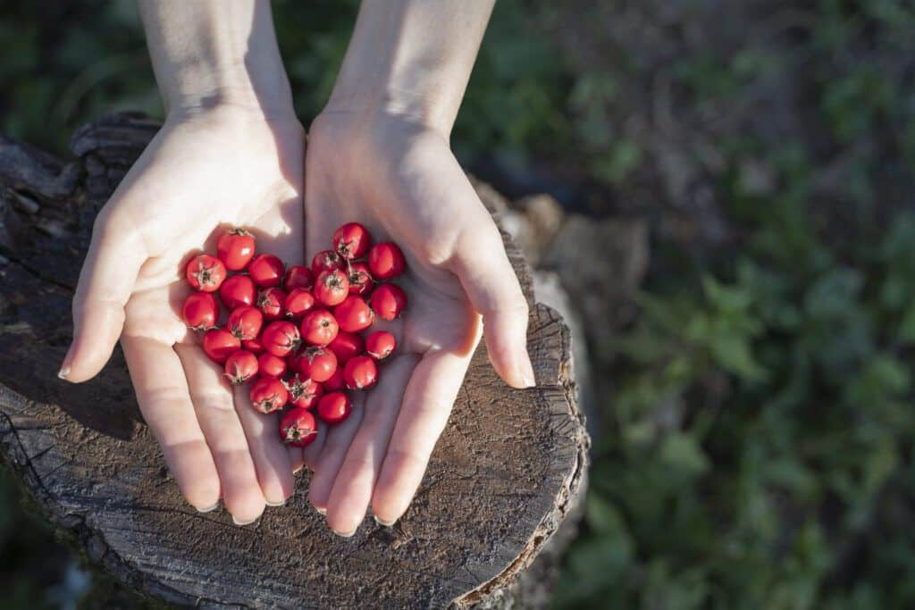 Woman hands holding hawthorn berry heart shape on a wood forest background