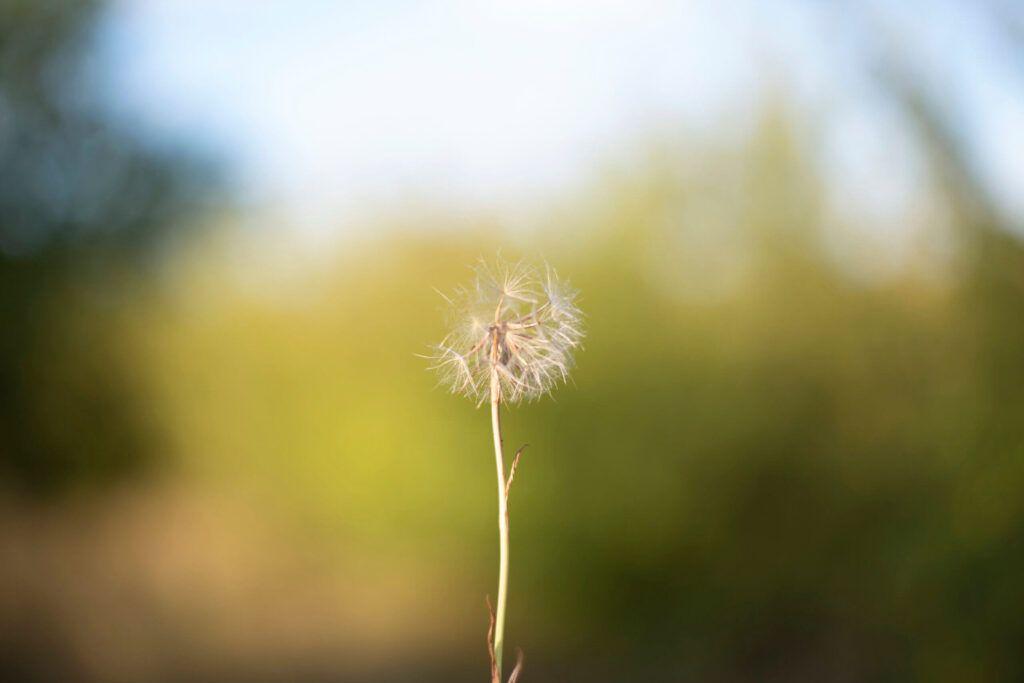 Herb Highlight: Diente de león - WishGarden Herbs